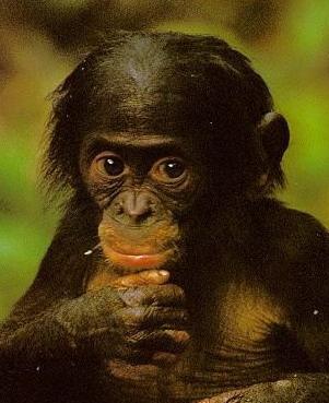 bonobobebe.jpg
