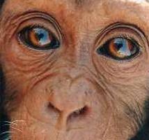 chimpanzenani.jpg