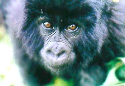 gorillasa211.jpg