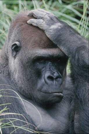 Grands singes et forêt : même combat pour la planète