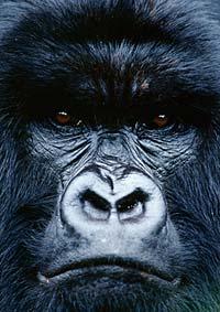 gorille2.jpg