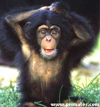 jeunechimpanze.jpg