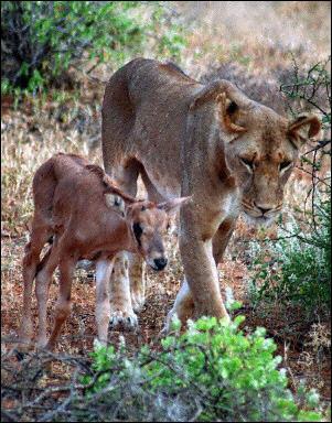 lionneantilope.jpg